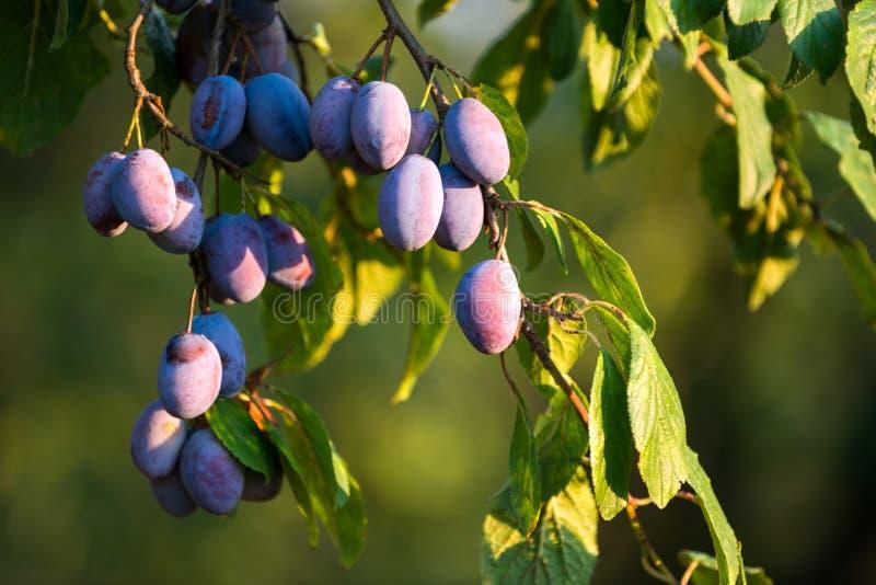 在树的塞尔维亚李子 库存图片