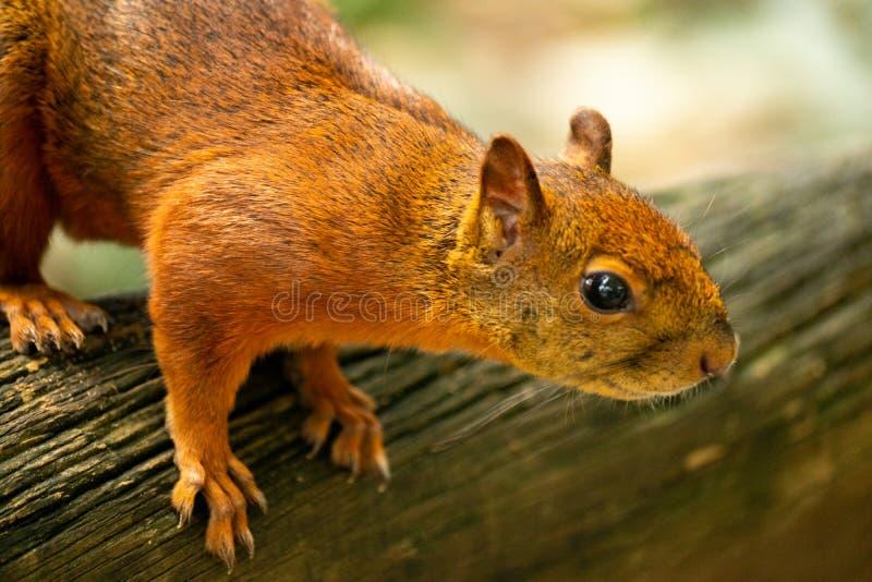 在树的小的棕色灰鼠 免版税库存照片