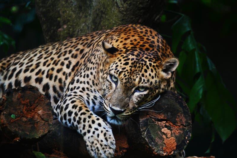 在树的恼怒的豹子 免版税库存照片