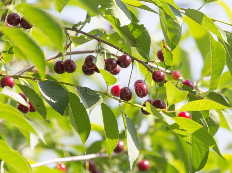 在树的成熟樱桃本质上 免版税库存照片