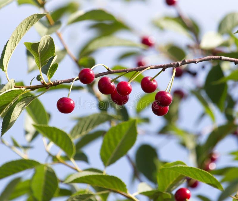 在树的成熟樱桃本质上 免版税图库摄影