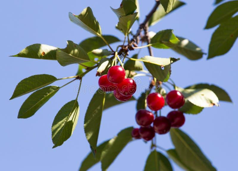 在树的成熟樱桃本质上 免版税库存图片
