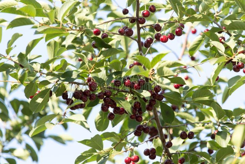 在树的成熟樱桃 库存图片