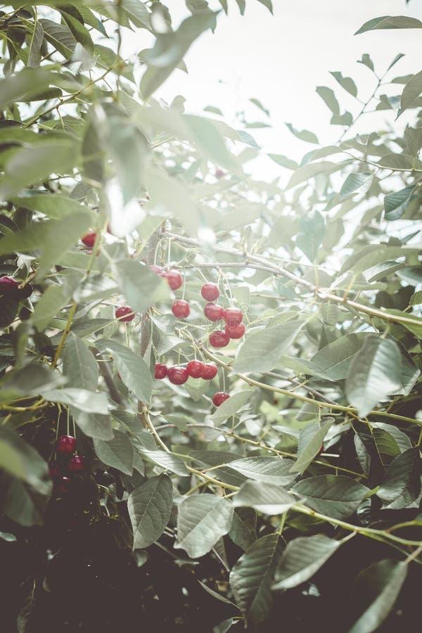 在树的成熟樱桃 brander 樱桃树在庭院里用在分支的成熟果子 库存图片