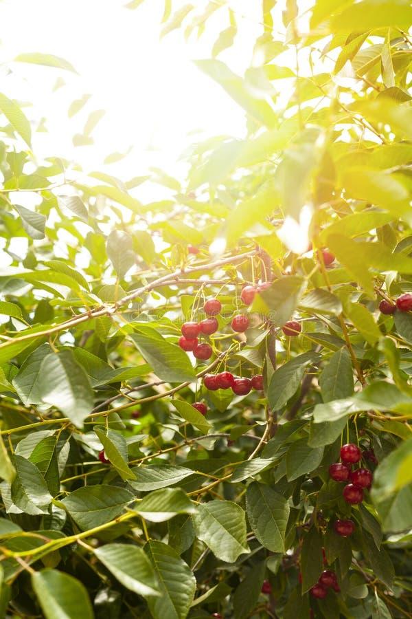 在树的成熟樱桃 brander 樱桃树在庭院里用在分支的成熟果子 免版税库存图片
