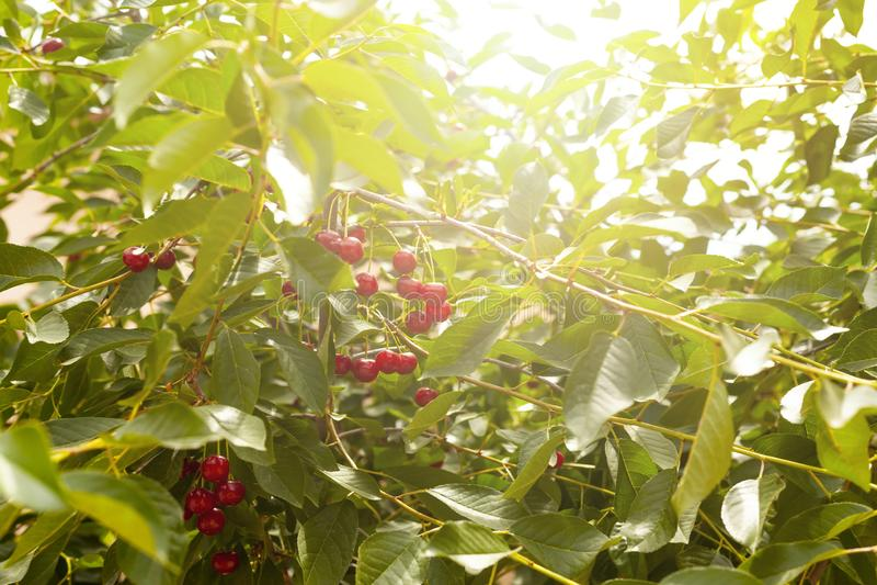 在树的成熟樱桃 brander 樱桃树在庭院里用在分支的成熟果子 免版税库存照片