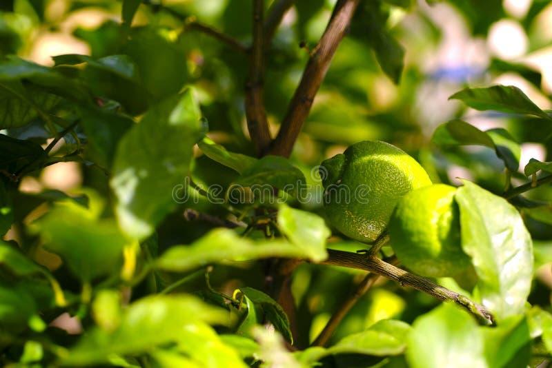 在树的成熟的柠檬 库存照片