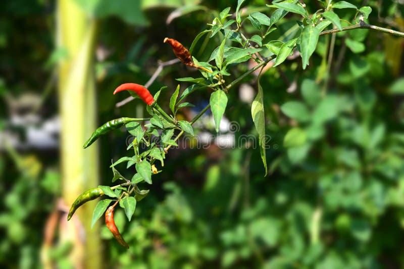 在树的成熟红色和绿色辣椒 免版税图库摄影