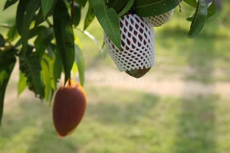 在树的成熟芒果在庭院里 库存图片