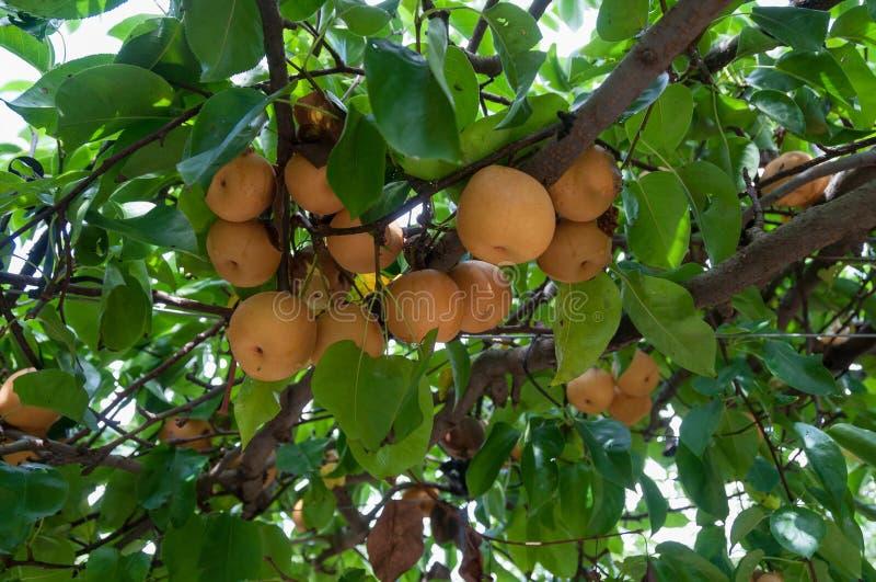 在树的成熟黄色nashi梨 免版税库存图片