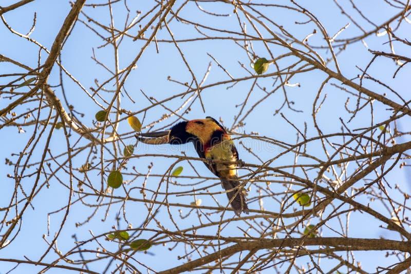 在树的抓住衣领口的Aracari 免版税库存图片