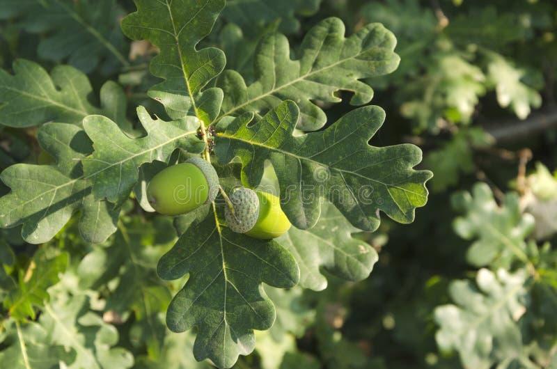 在树的新鲜和年轻橡子 免版税图库摄影