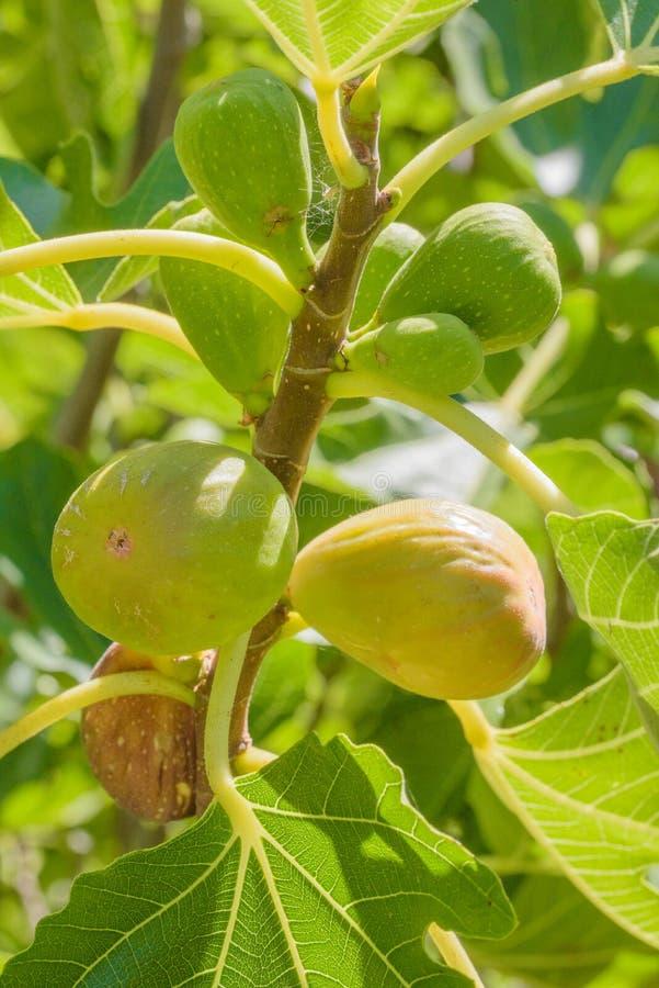 在树的新鲜的绿色无花果 免版税库存图片