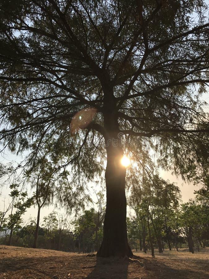 在树的日落 免版税库存照片