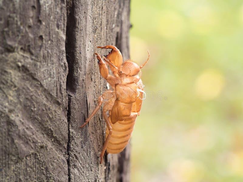 在树的昆虫蜕变的蝉本质上 蝉变形(拉丁蝉科)增长由成人昆虫决定 免版税库存图片