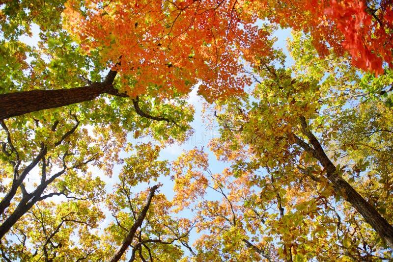 在树的明亮色红色,黄色和绿色橡木和槭树叶子在树上面的秋天森林底视图  免版税库存照片
