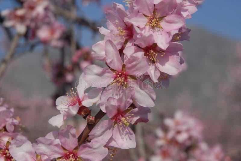 在树的杏仁开花在春天 免版税库存图片