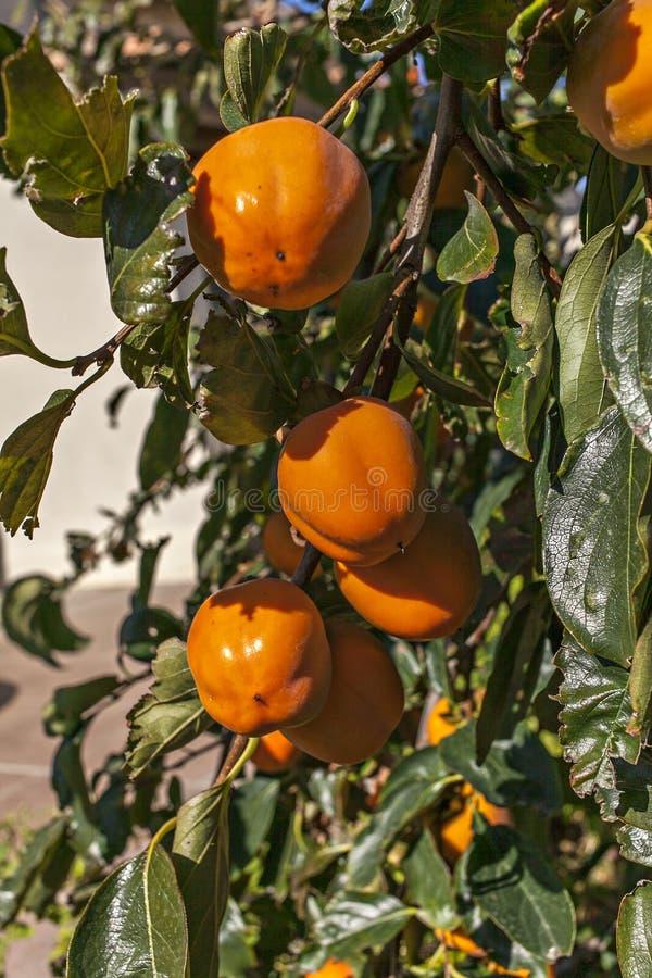 在树的果子 免版税库存照片