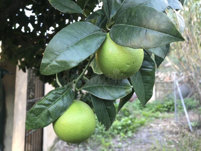 在树的果子 库存图片