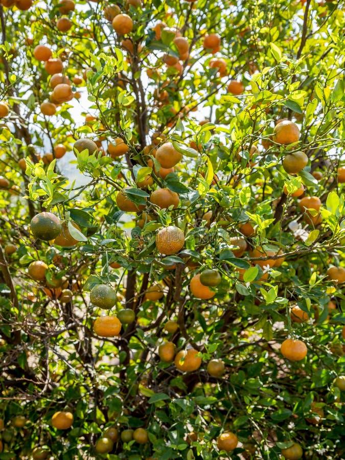 在树的柑桔 免版税库存图片
