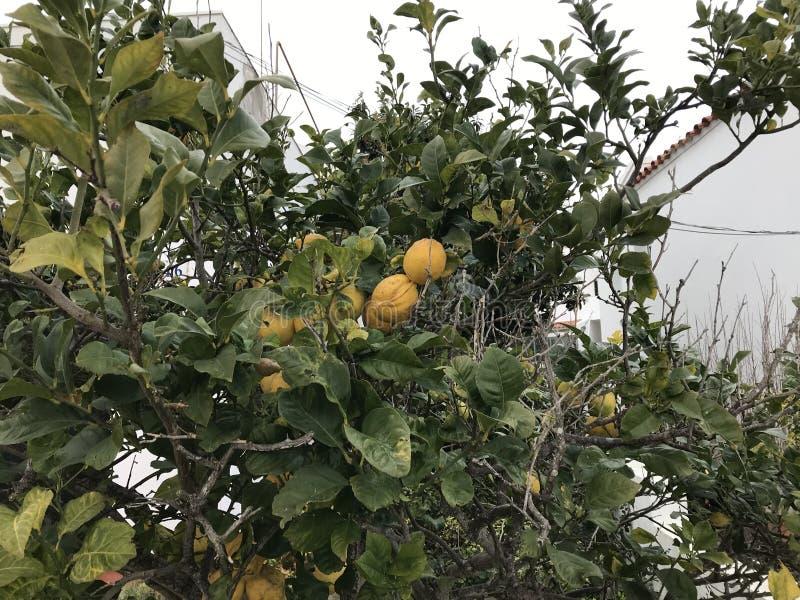 在树的柠檬 库存图片
