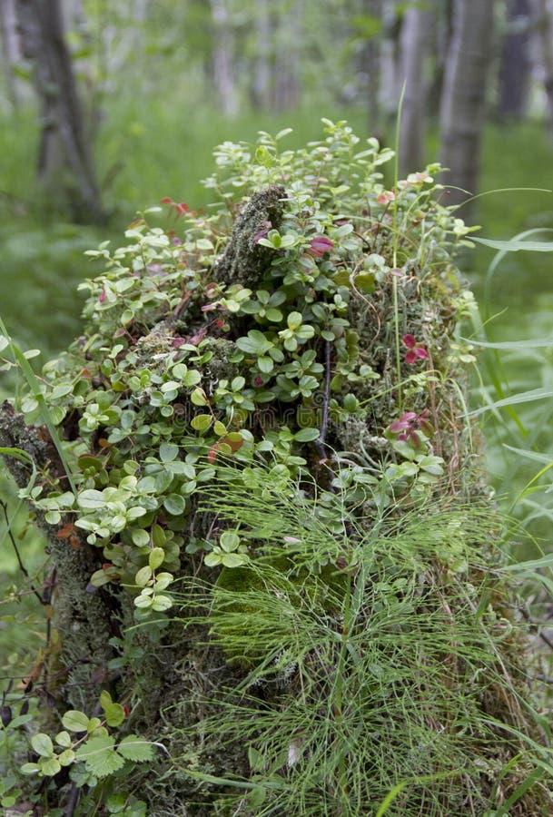 在树的树桩种植蔓越桔 库存照片