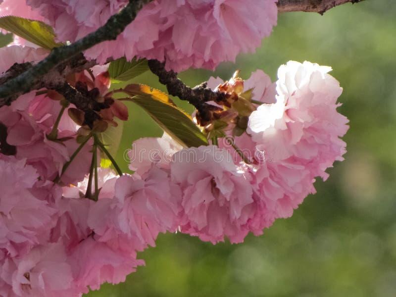 在树的桃红色和白色樱花 免版税库存照片