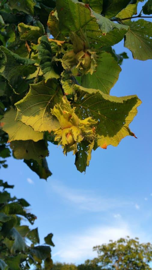 在树的榛子 免版税图库摄影