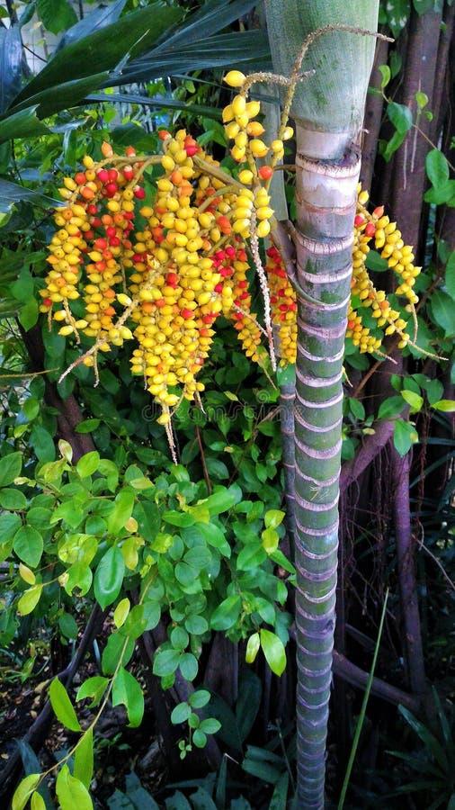 在树的槟榔 图库摄影