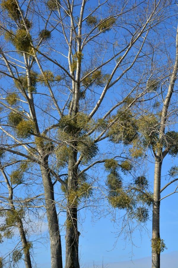 在树的槲寄生或槲寄生虫册页 免版税图库摄影