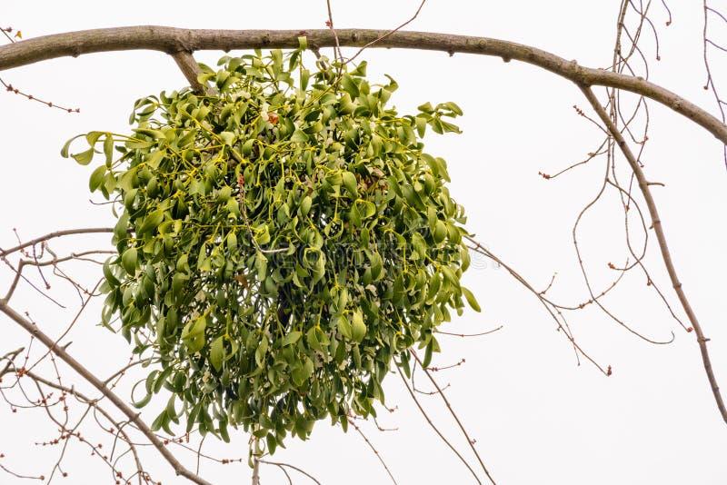 在树的槲寄生虫册页 免版税库存照片