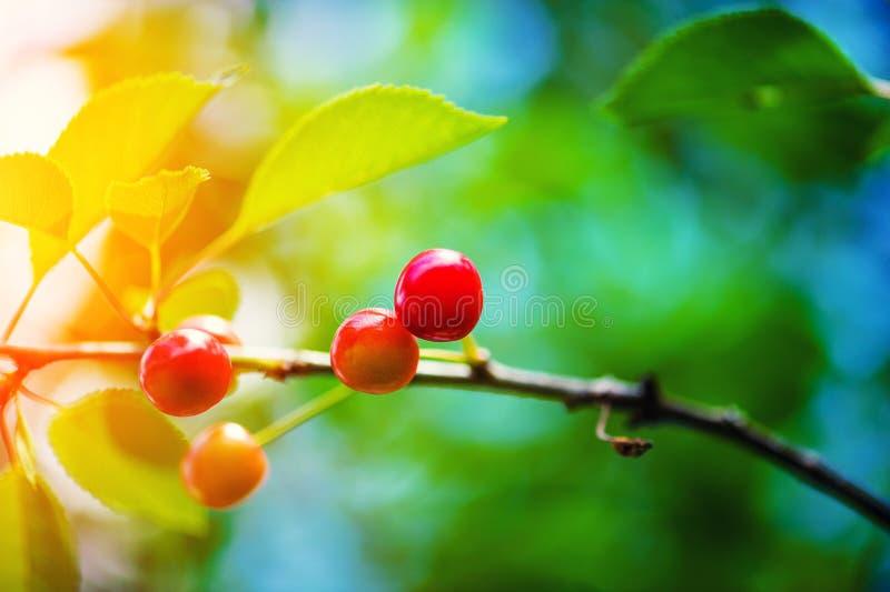 在树的樱桃 库存图片