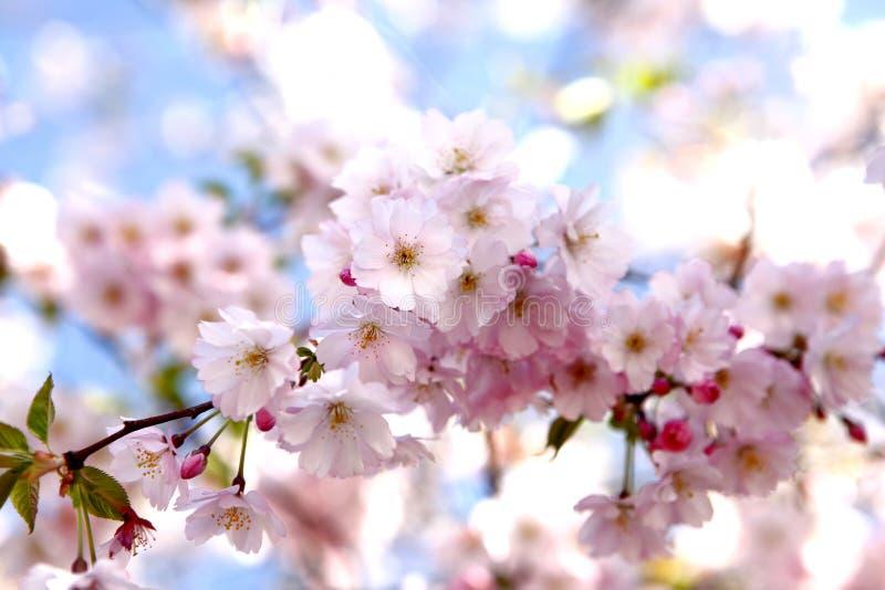 在树的樱花 免版税库存照片