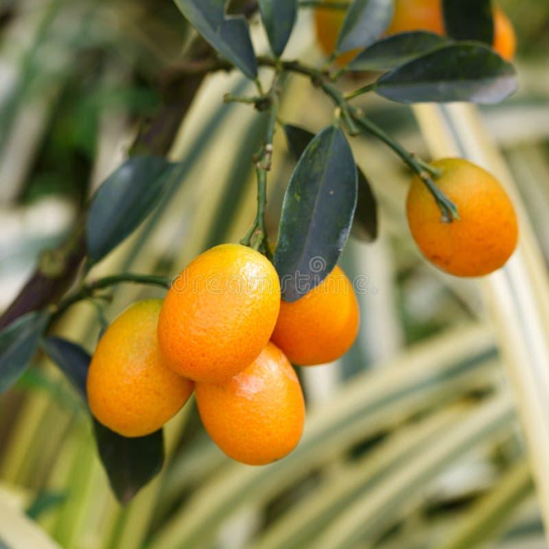 在树的橙色金桔 免版税库存照片