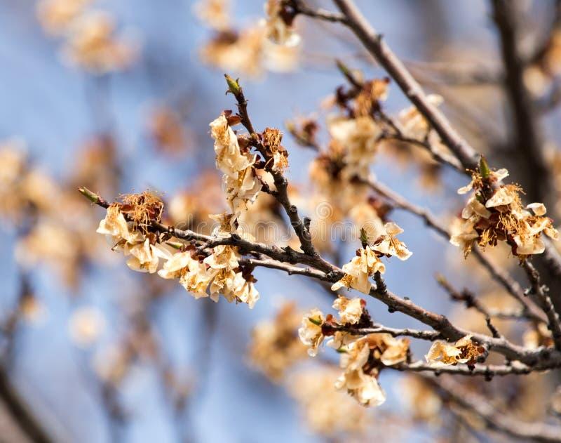 在树的死的花在霜以后的春天 库存照片