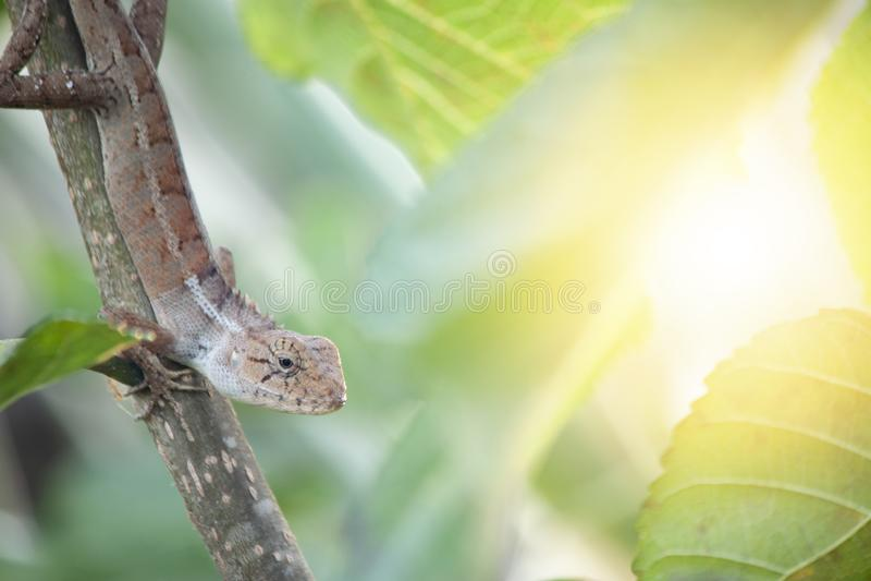 在树的泰国变色蜥蜴睡眠 库存照片