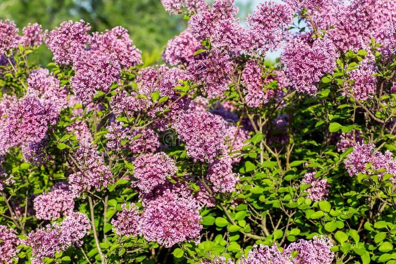 在树的淡紫色花在庭院里 图库摄影