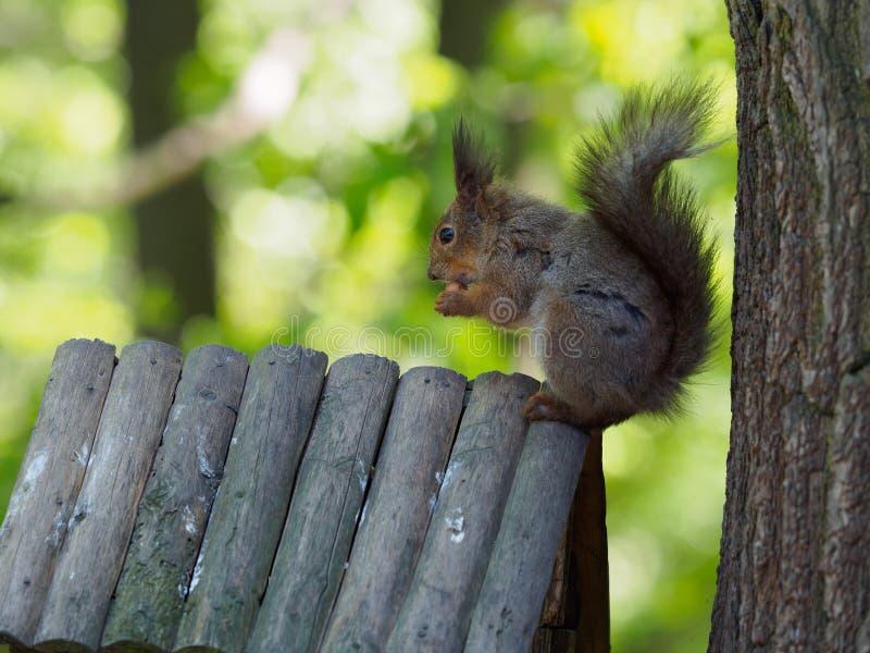 在树的灰鼠吃 库存照片
