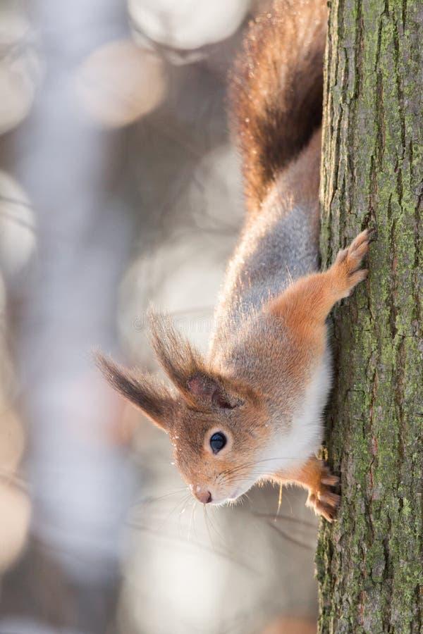 在树的灰鼠在冬天 免版税库存图片
