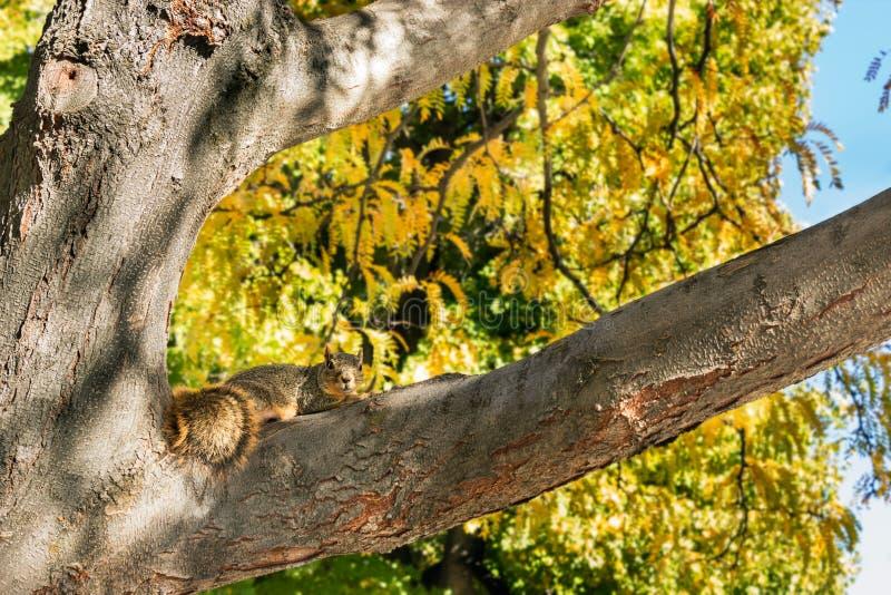 在树的灰鼠在秋天期间 图库摄影