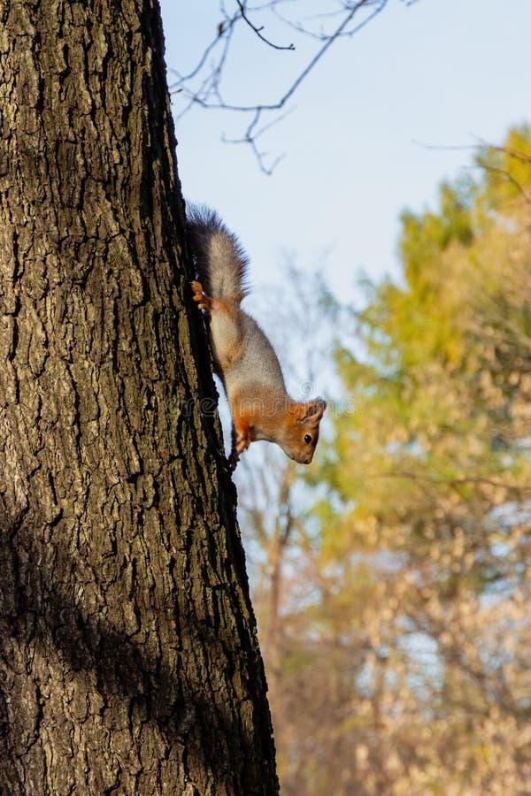 在树的灰鼠在秋天 图库摄影
