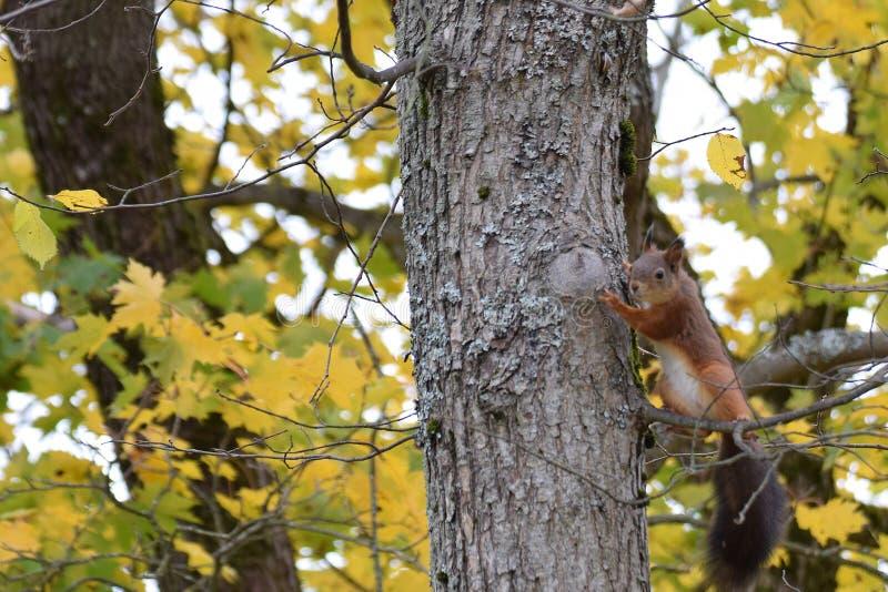 在树的灰鼠秋天 库存图片