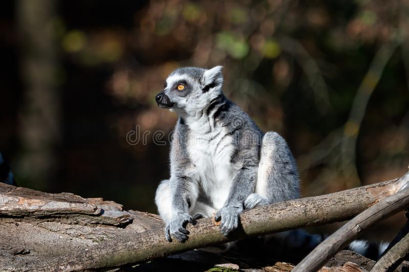 在树的狐猴catta 尾部有环纹的狐猴 免版税库存图片