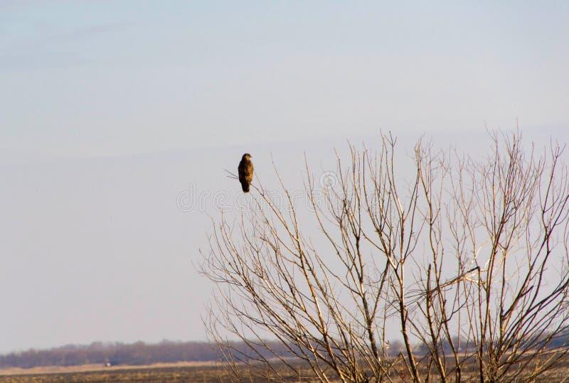 在树的猎鹰 图库摄影