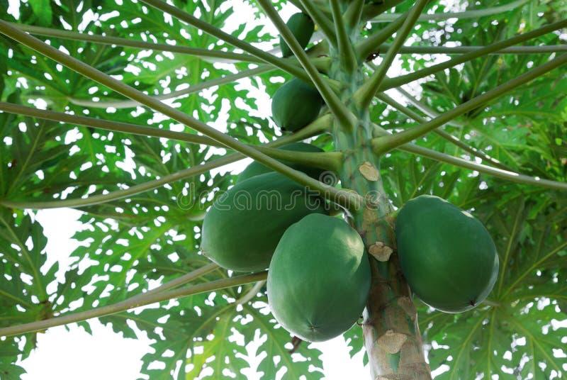 在树的番木瓜果子 免版税图库摄影