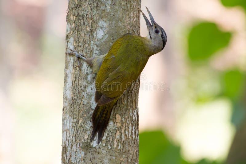 在树的白发啄木鸟 免版税图库摄影