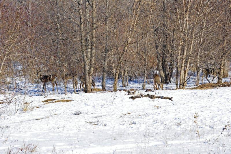 在树的白尾鹿 免版税图库摄影