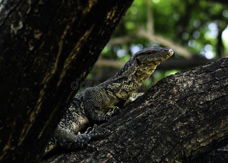 在树的监控蜥蜴 免版税库存图片