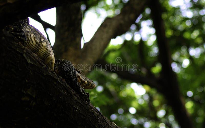 在树的监控蜥蜴 库存照片