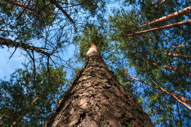 在树的看法从树干下面冠上 库存照片